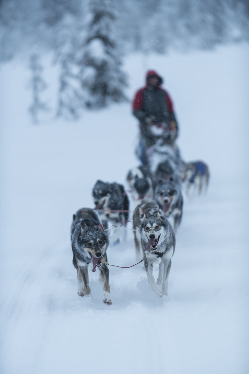 Swedish dog musher Petter Karlsson runs his dog team down a snowy trail in the Vindelfjallen Nature Preserve in the Lapland region...