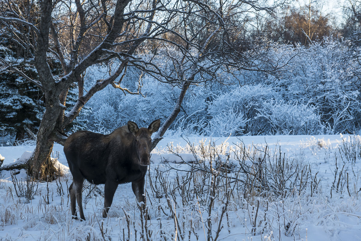 Kincaid Park, Moose, cow moose, frost, wildlife, winter, photo