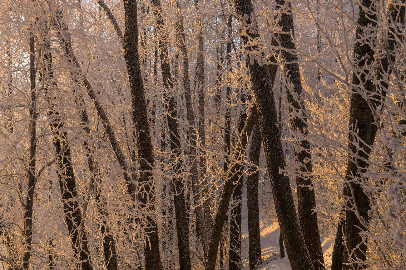 Late afternoon light sets aglow some hoar frost on cottonwood trees alongside a trail in Brown's Point Park.