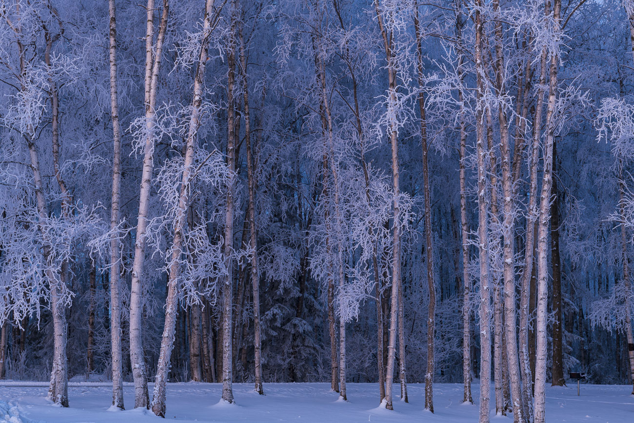 Hoar frost accents a small grove of aspens near the Lake Hood Seaplane Base in mid-winter at dusk.