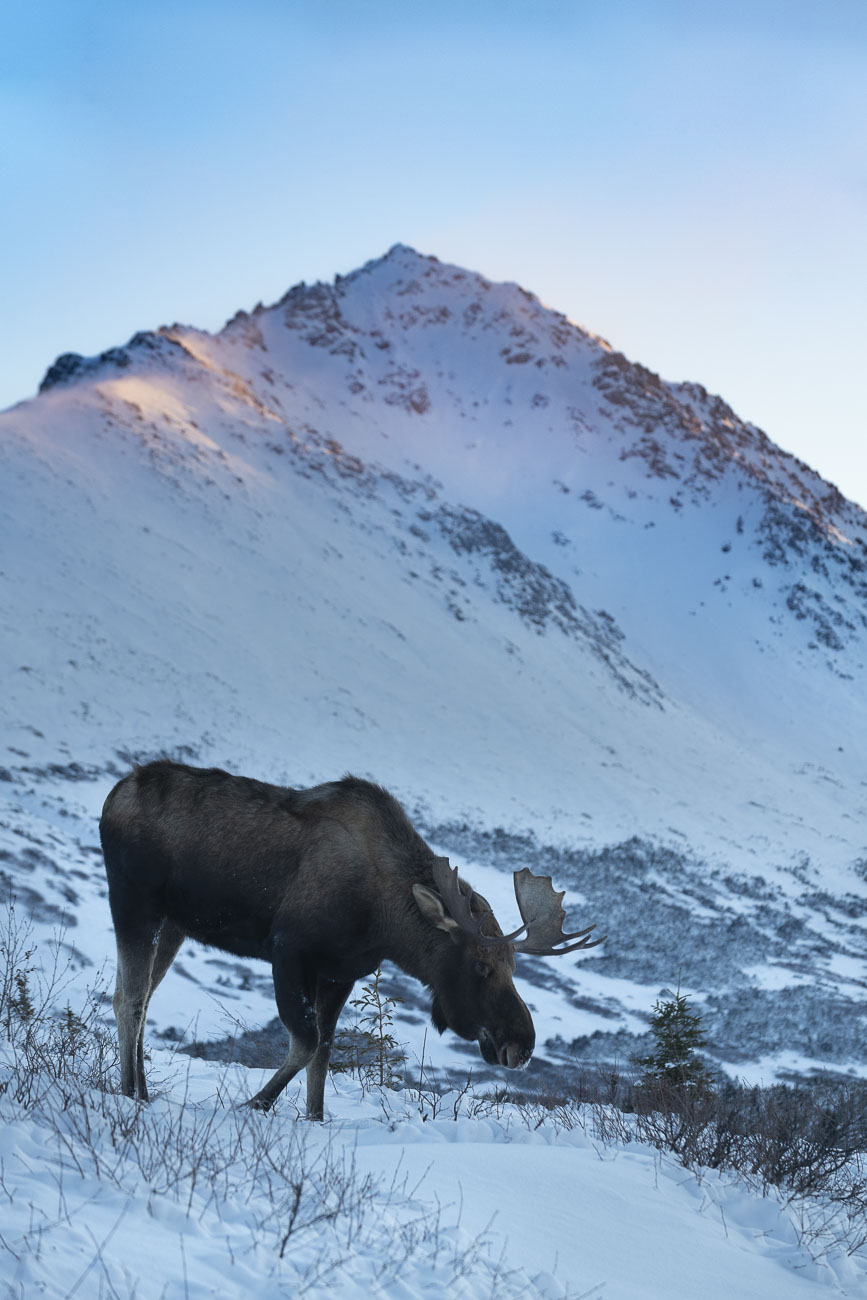 A bull moose moves along in snow while browsing brush as morning light strikes O'Malley Peak in the Chugach Front Range in the...