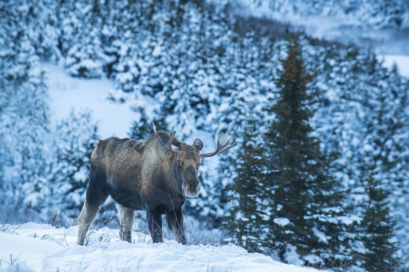 A bull moose pauses while browsing shrubs under the snow in Chugach State Park to reveal a frosty snout.