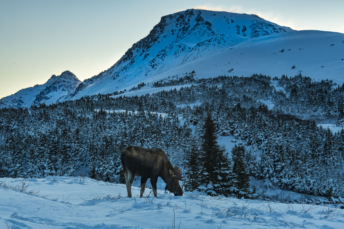 A bull moose browses amidst a patch of dwarf birch under the snow as a wind-swept Flattop Mountain and Ptarmigan Peak stand in...