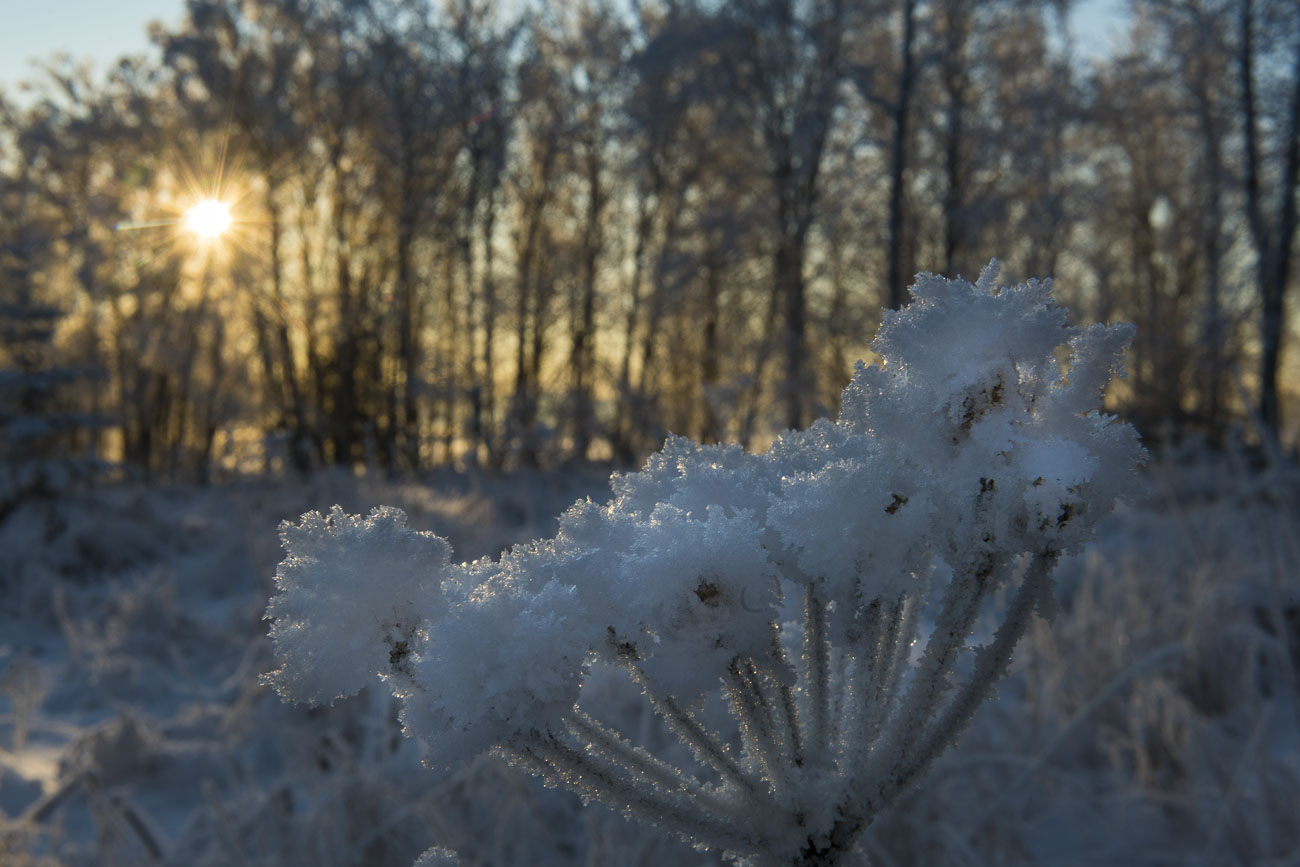 A late afternoon sun shines through a grove of trees behind a stock of cow parsnip coated in hoar frost at the Campbell Creek...