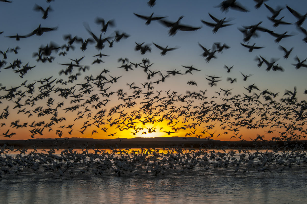 Twenty thousand snow geese take flight at sunrise in Bosque del Apache National Wildlife Refuge, New Mexico.