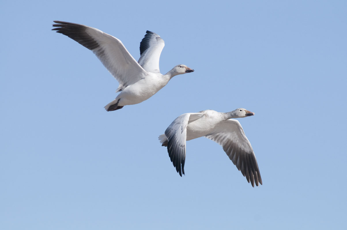A pair of snow geese (Chen caerulescens)  pass overhead at Bosque del Apache National Wildlife Refuge in New Mexico.