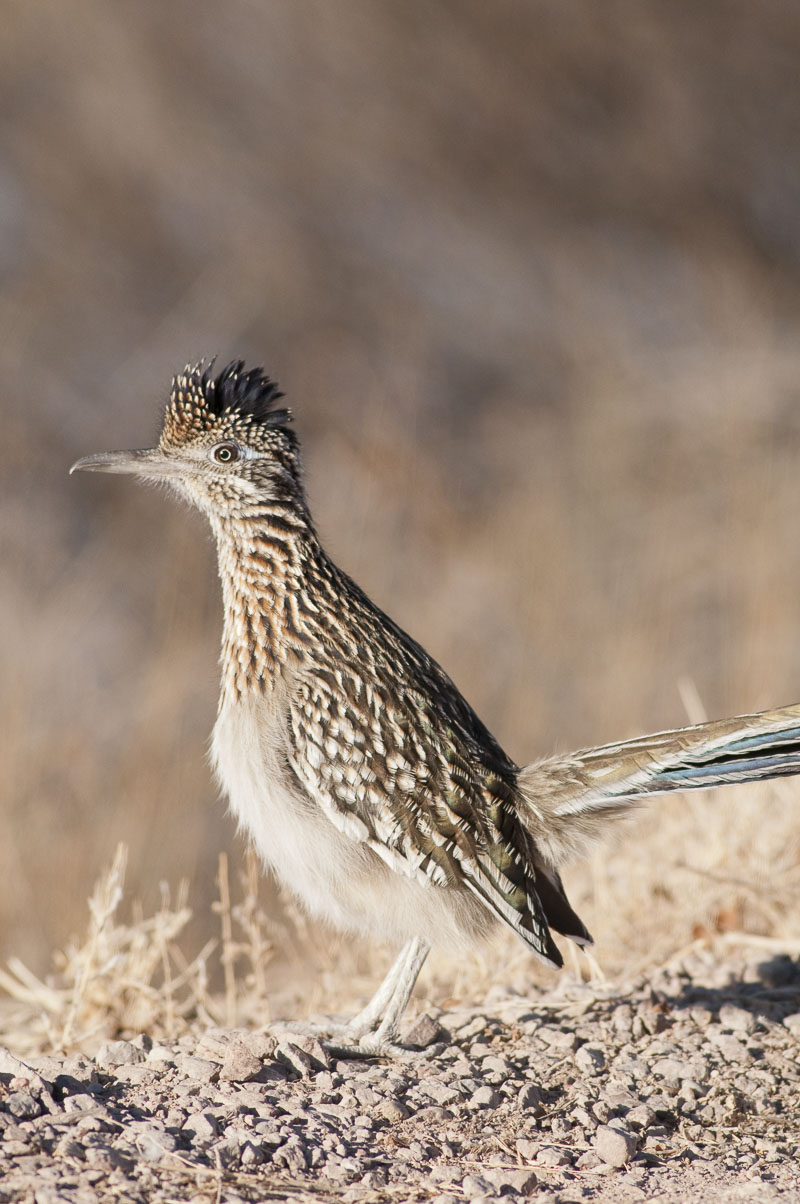 A roadrunner (Geococcyx californianus) makes his way along the road, looking for company in Bosque del Apache National Wildlife...