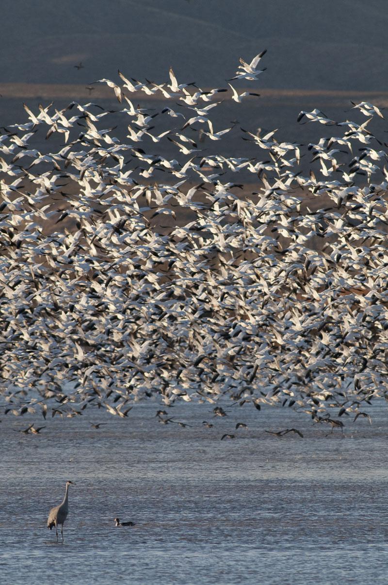 Birds, Bosque del Apache National Wildlife Refuge, NWR, New Mexico, Sandhill Crane, flight, national wildlife refuge, snow geese, take-off, thousands, wildlife, winter, photo
