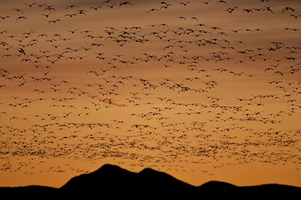 Birds, Bosque del Apache National Wildlife Refuge, NWR, New Mexico, dawn, flight, national wildlife refuge, snow geese, thousands, wildlife, winter, photo
