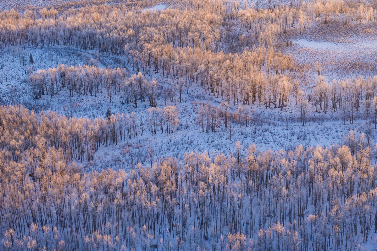 Evening light adds a hint of gold to a grove of frosty aspen along Wasilla Creek in the Palmer Hay Flats State Game Refuge.