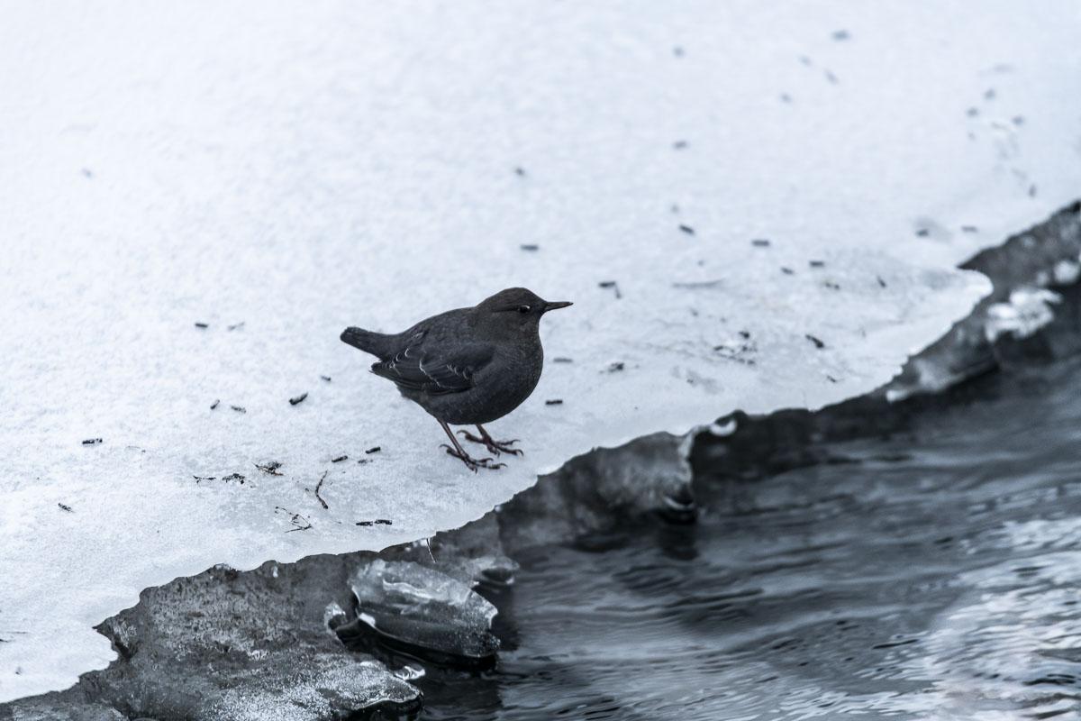 Alaska, American dipper, Anchorage, Campbell Creek, bird, wildlife, winter, photo