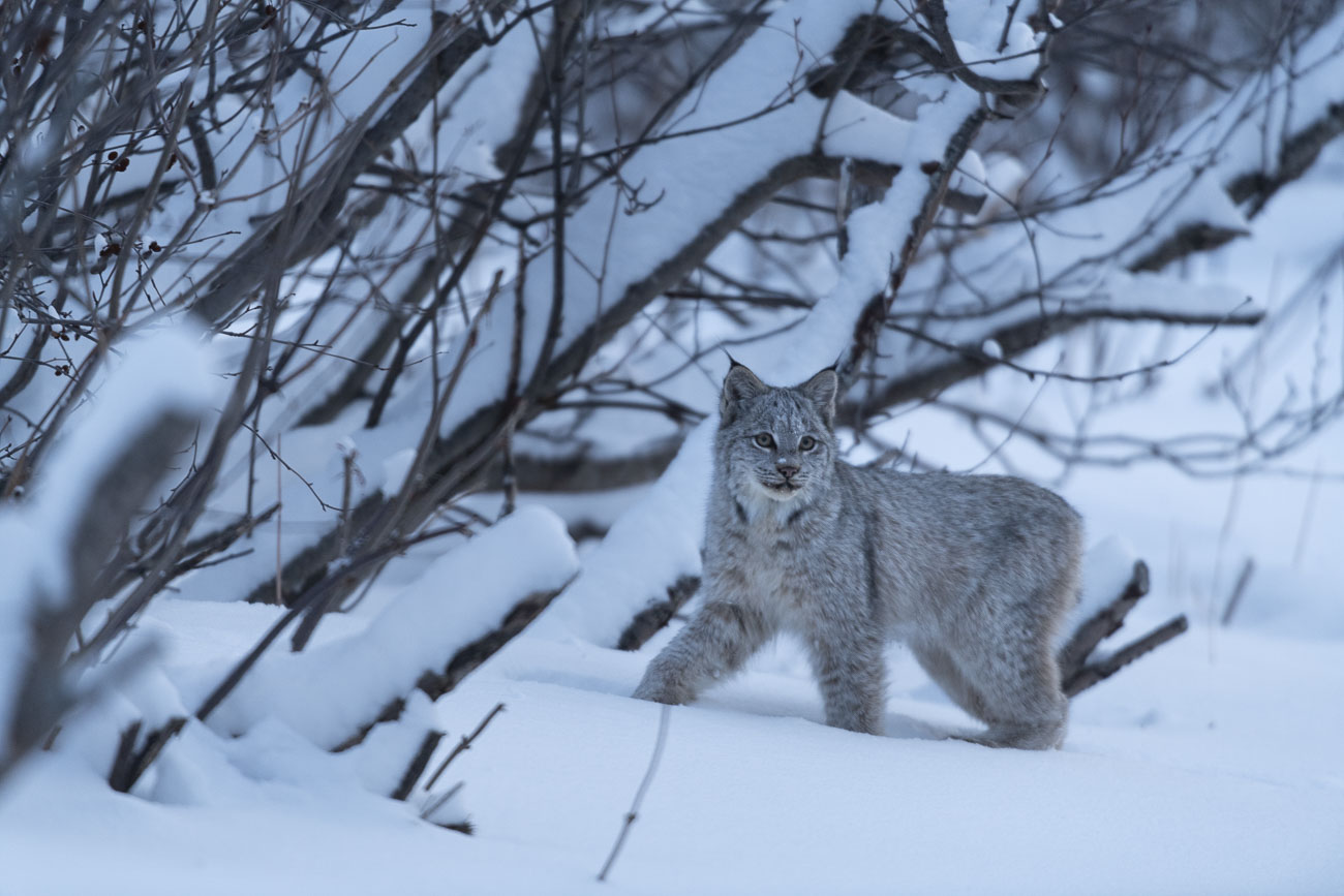 A Canadian Lynx takes a pause to look at me as it passes through a trail in our backyard. See my blog post on Backyard Wildlife...