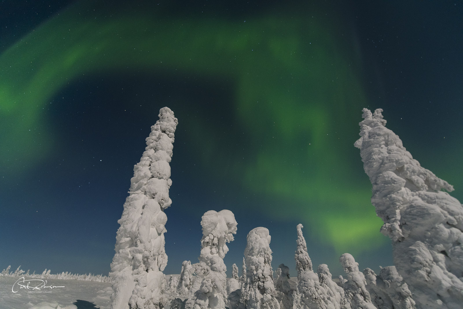 A cluster of snowy trees rise toward the sky as the aurora soars overhead.