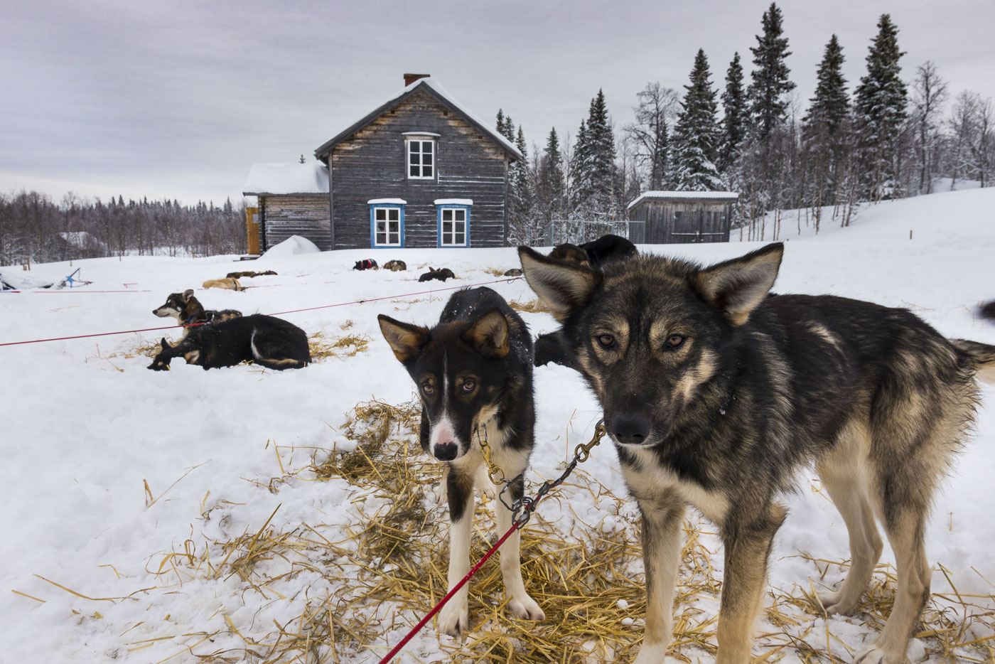 Dog teams on a tour group rest on the hay in the morning at a remote dry cabin in the Vindelfjallen Nature Preserve.