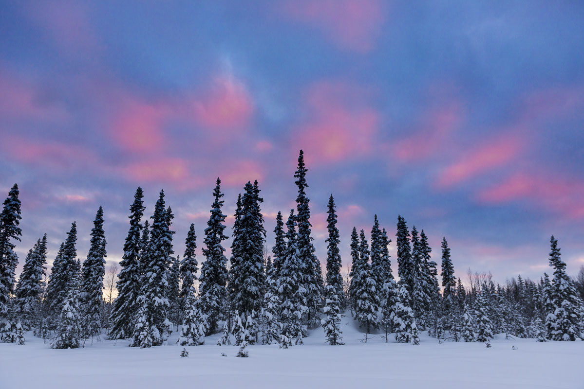 On our third and final day of a backcountry dog mushing trip in the Swedish Lapland, pinks and blues provided rich colors in...