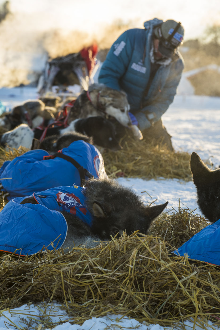 Petter Karlsson checks paws and legs for injuries during a rest at the Neiden 2 checkpoint for the 2019 Finnmarksløpet race.