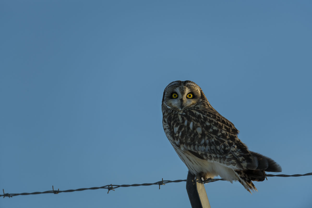 A short-eared owl perches on a barbed-wire fence as it waits and watches for its next meal.