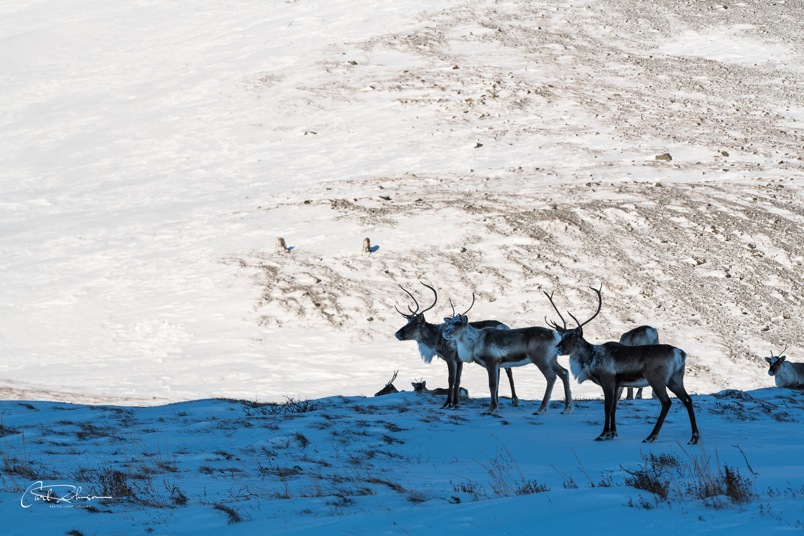 A cluster of caribou from the Central Arctic Herd pause in the shade as the sun shines on a hillside on the Chandalar Shelf...