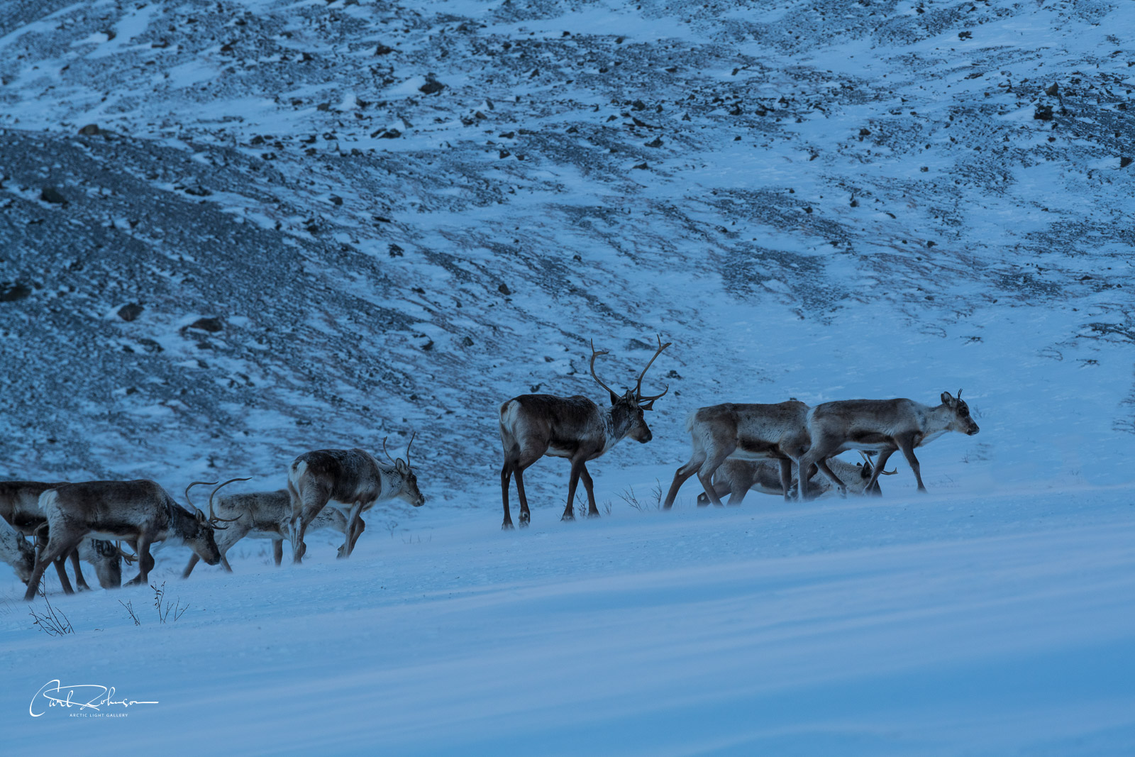 A group of caribou from the Central Arctic Herd make their way up a wind-blown hillside in the Chandalar Shelf, Brooks Range...