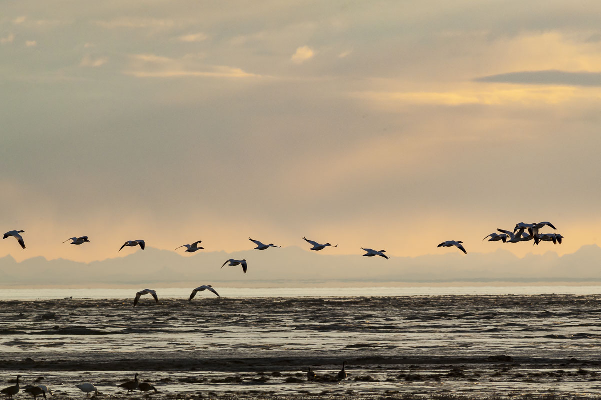 A group of snow geese fly by in early spring over the mudflats near the Rabbit Creek outflow on the Anchorage Coastal Wildlife...