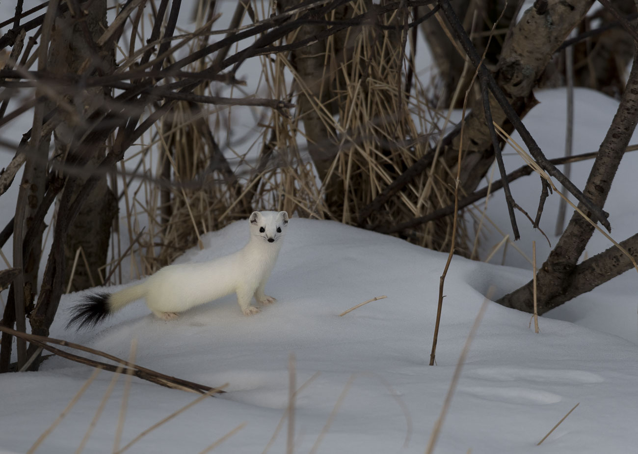 Alaska, Anchorage, backyard, ermine, short-tailed weasel, wildlife, winter, photo