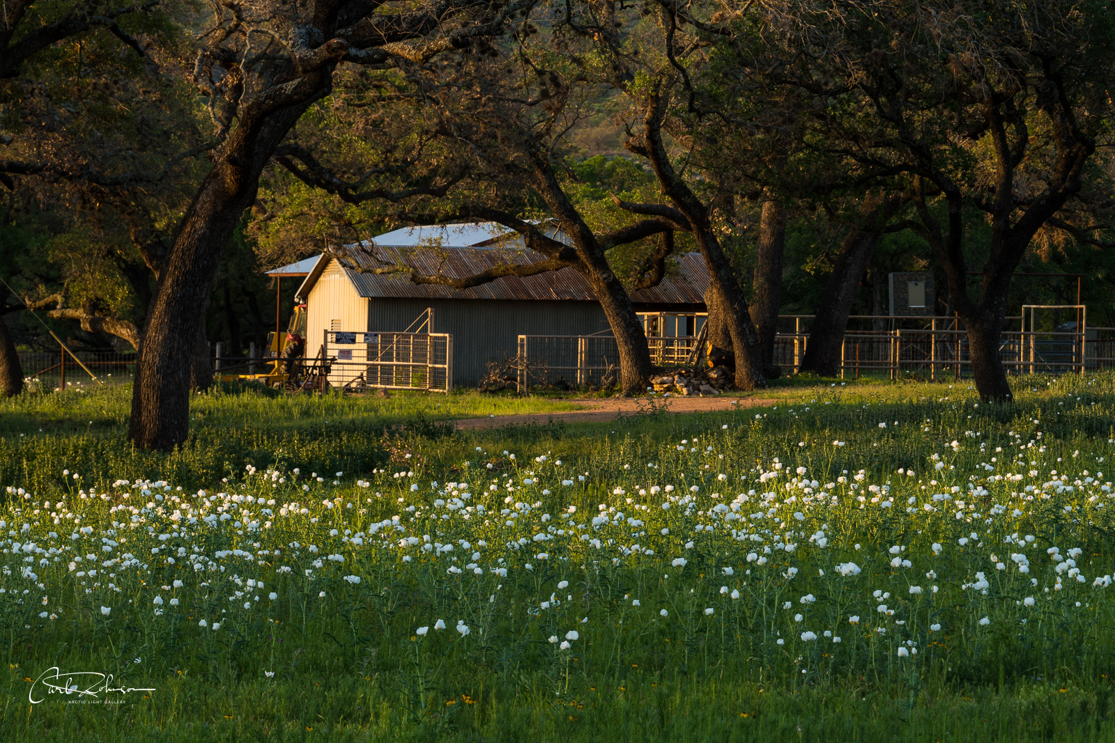 A ranch house catches  morning light along the Willow City Loop with a field of white prickly poppy.