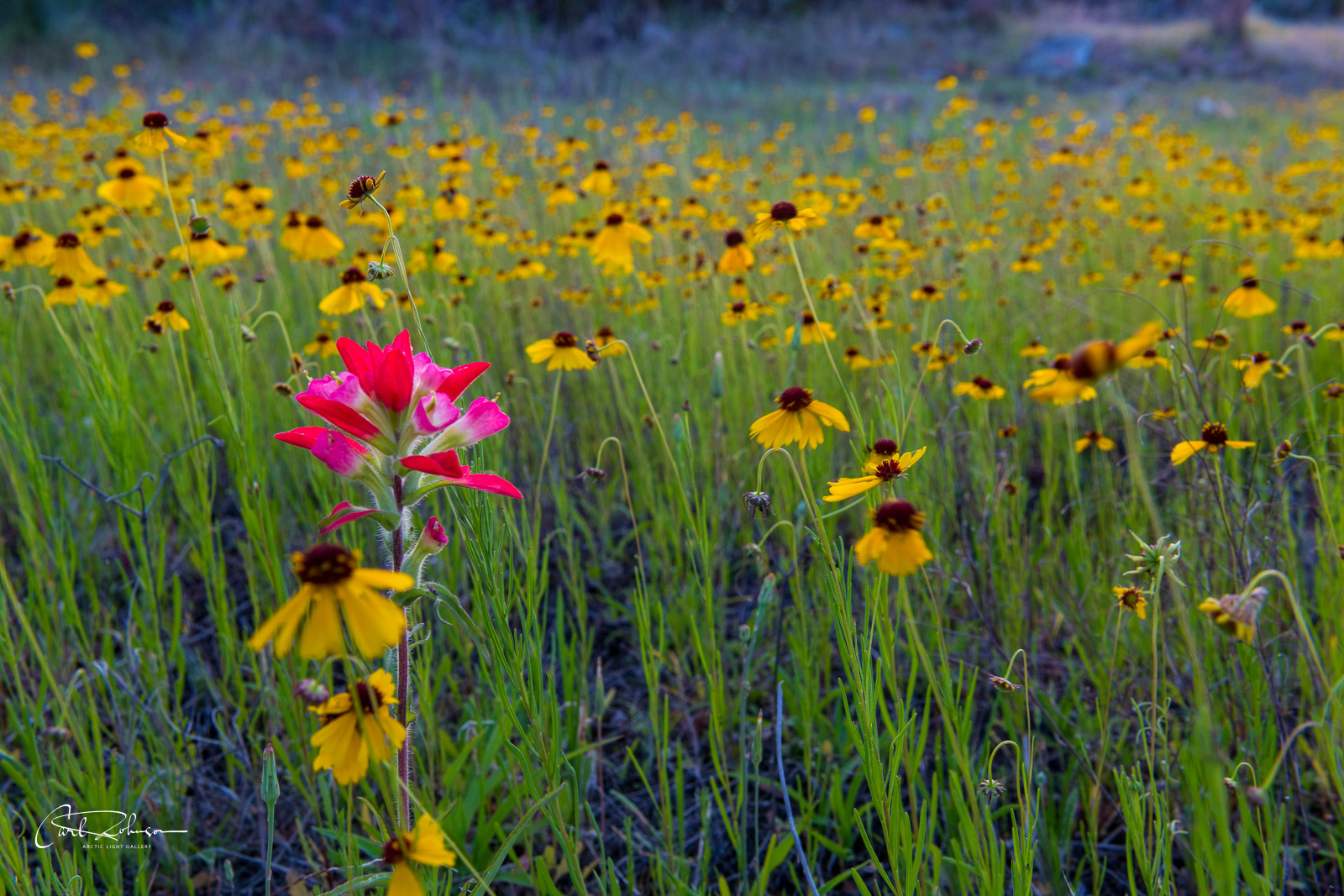 A field of brown-eyed Susan flowers catch a pop of red from a lone Indian paintbrush flower near Park Road 4 in Texas.