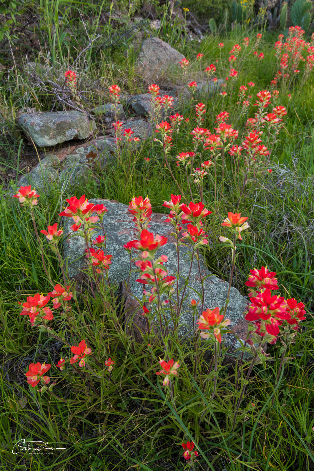 A solid patch of Indian paintbrush adds a pop of red to grasses and rocks a short walk from Park Road 4 near Burnet, Texas.