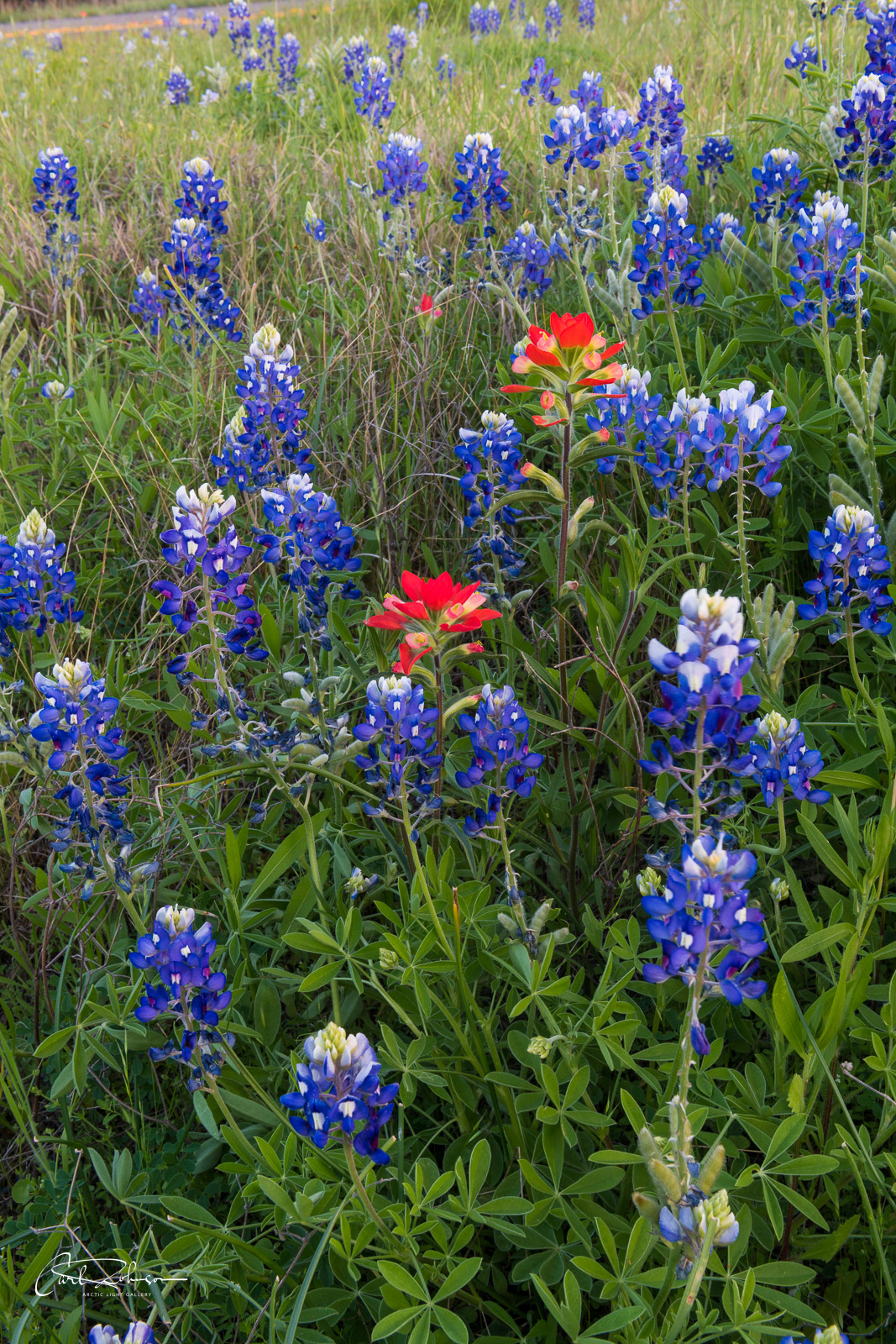 A pair of red Indian paintbrush add a pop of color to a patch of bluebonnets along Park Road 4 near Burnet, Texas.