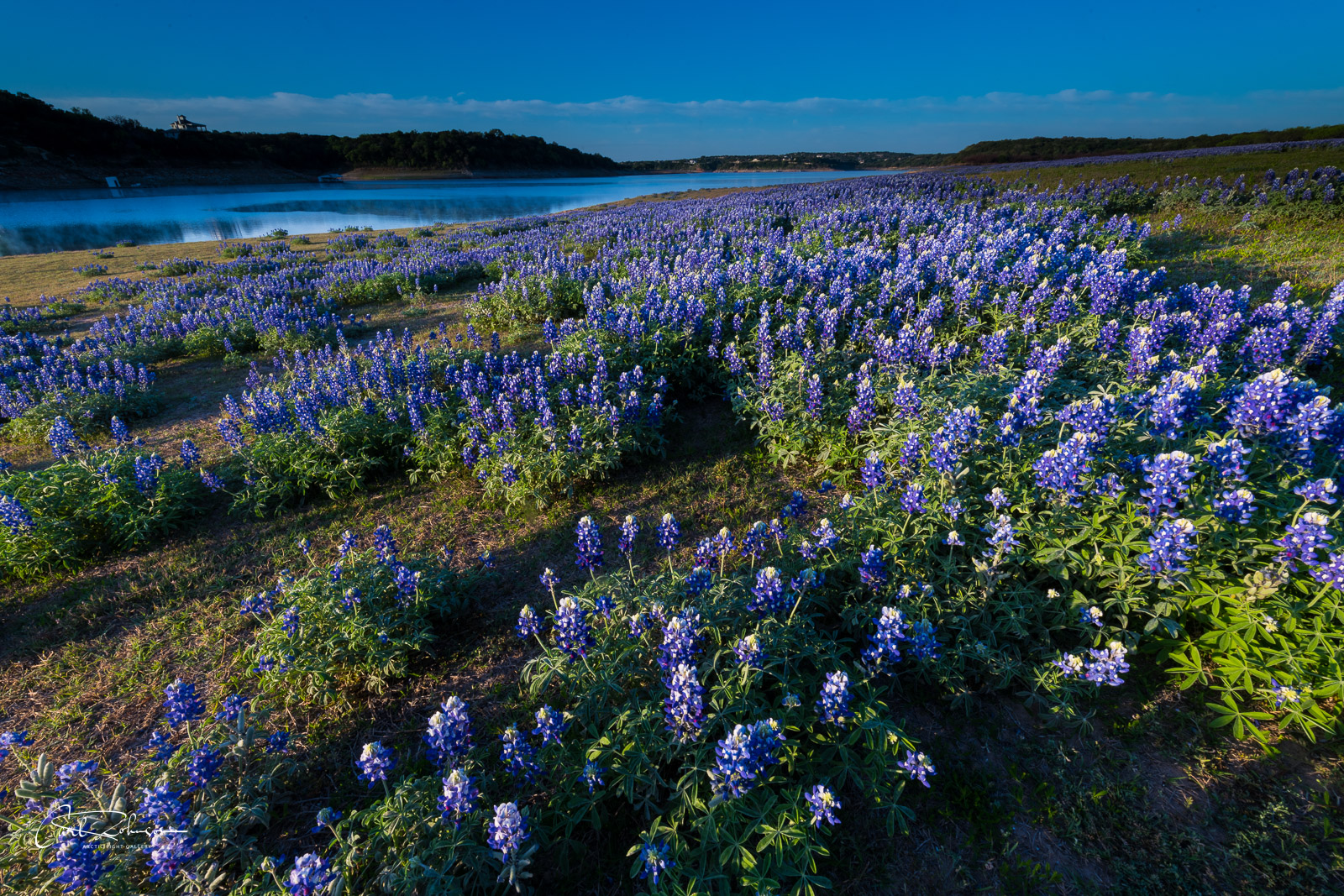A large patch of bluebonnets catches the morning light along the lower Colorado River near Marble Falls, Texas.