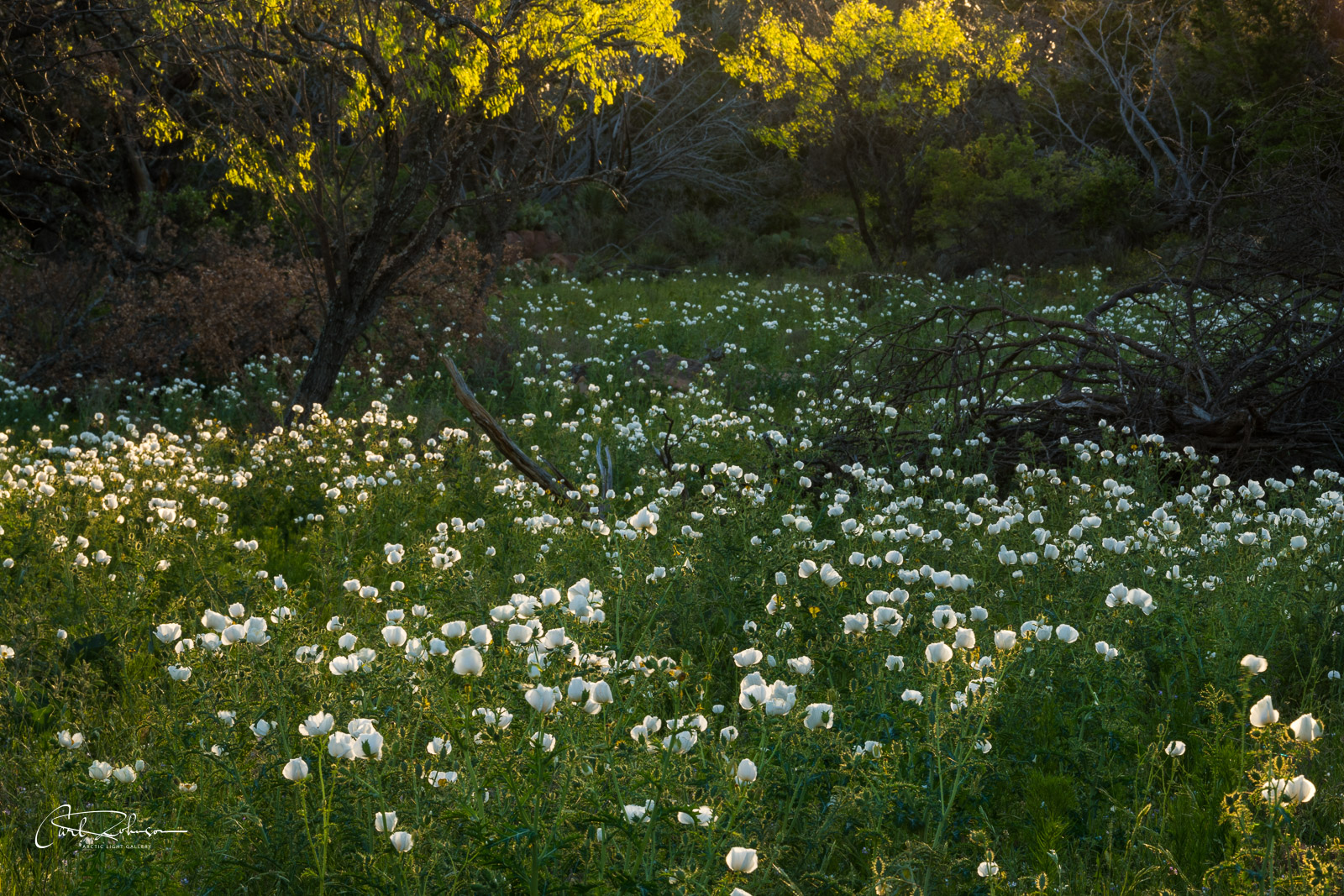 A field of white prickly poppies and trees are backlit by morning light along the Willow City Loop in the Texas Hill Country.
