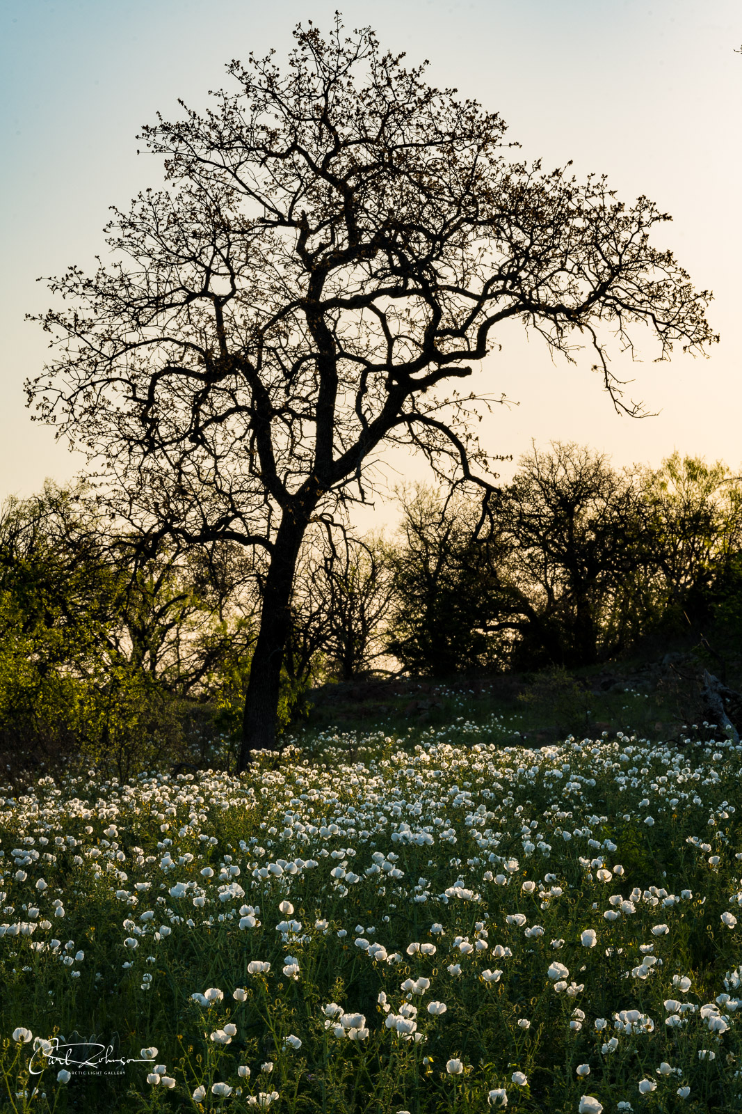 A lone tree towers over a field of white prickly poppy near the Willow City Loop road in the Texas Hill Country.