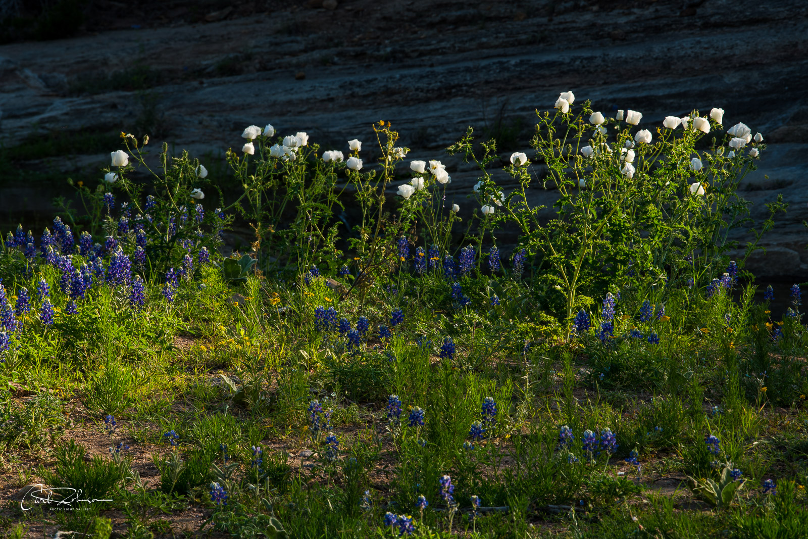 A patch of white prickly Poppy and some bluebonnets catch the morning light against the shadow of a cliff along a stream near...