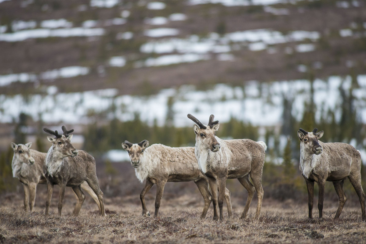 A group of caribou on their spring migration pause in Broad Pass near the Parks Highway south of Cantwell.