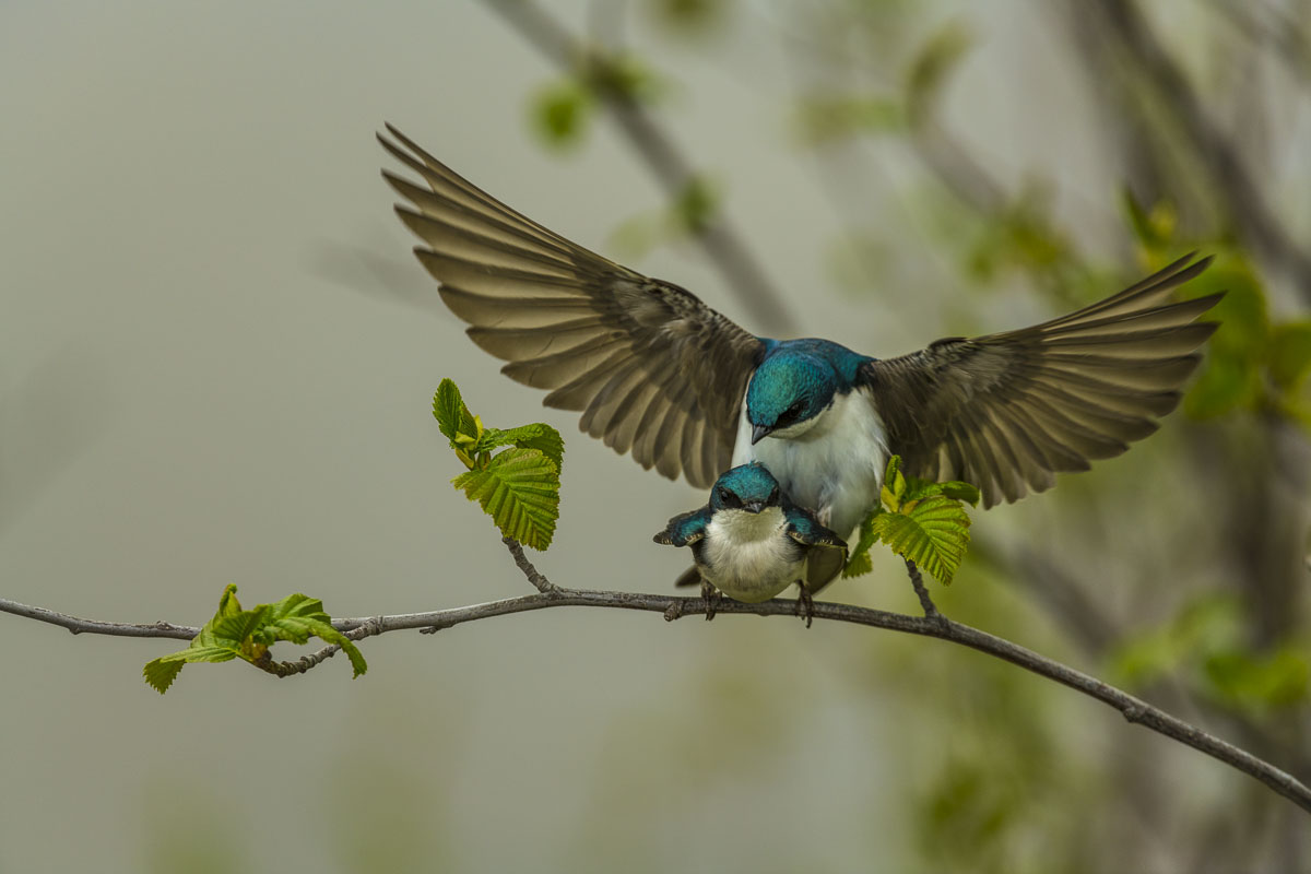 Tree Swallow Mating