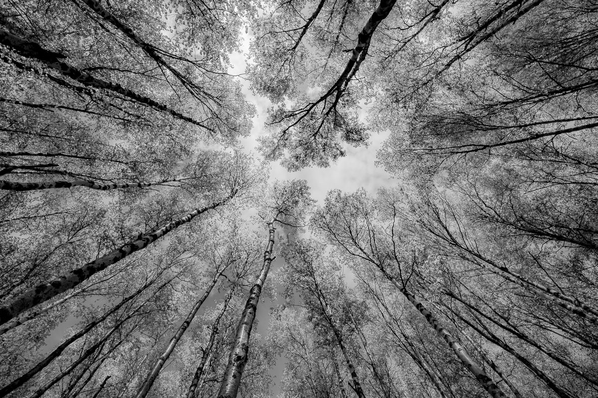 View up the trees along a trail in Eagle River Valley (converted Infrared black and white).