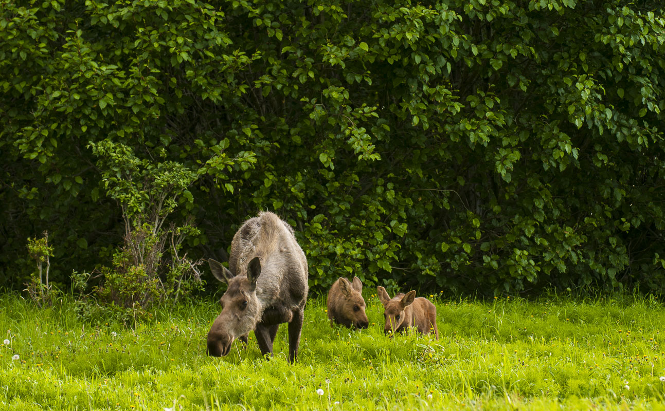 A cow moose and her two spring calves browse on grasses in the Campbell Creek Natural Area, Anchorage, Alaska.
