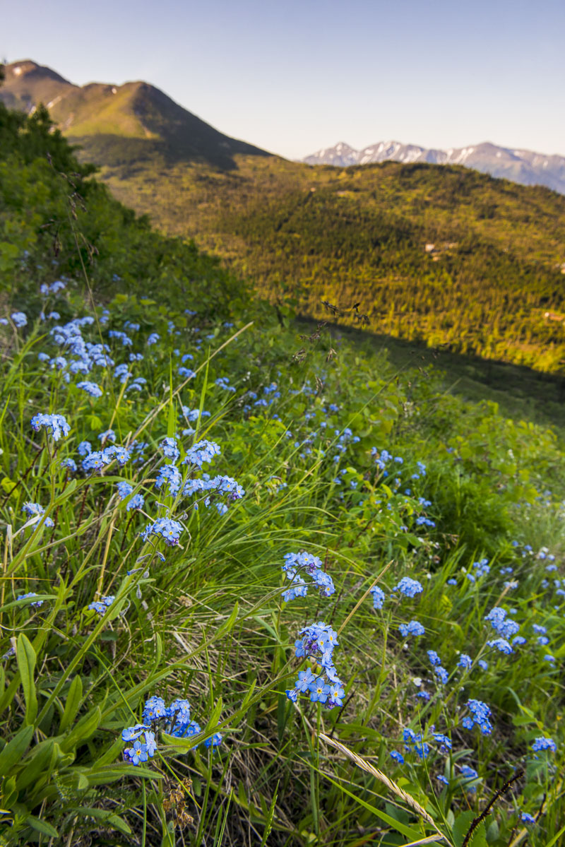 Anchorage, Chugach Mountains, alpine, morning, summer, wildflowers, photo