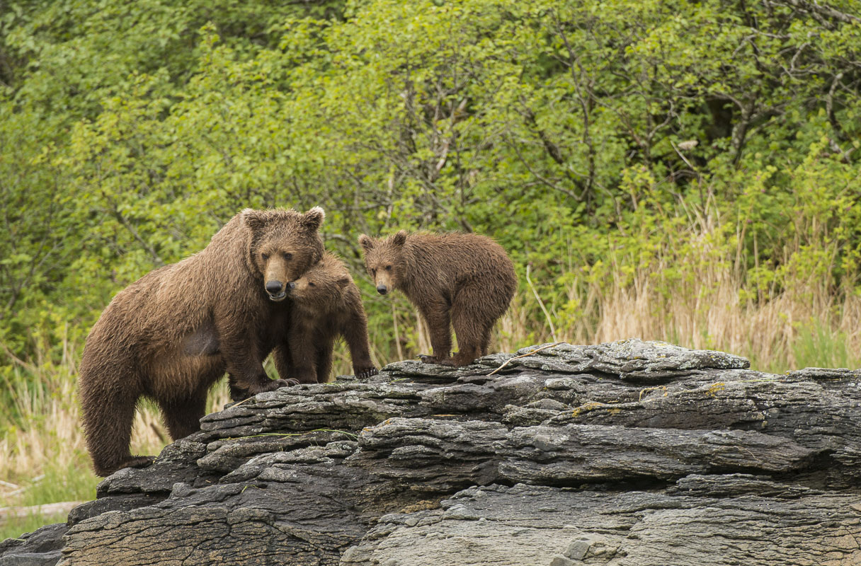 During my first visit to the Katmai Wilderness Lodge, we came upon a sow nursing her two cubs on a rock along the shore. Unfortunately...