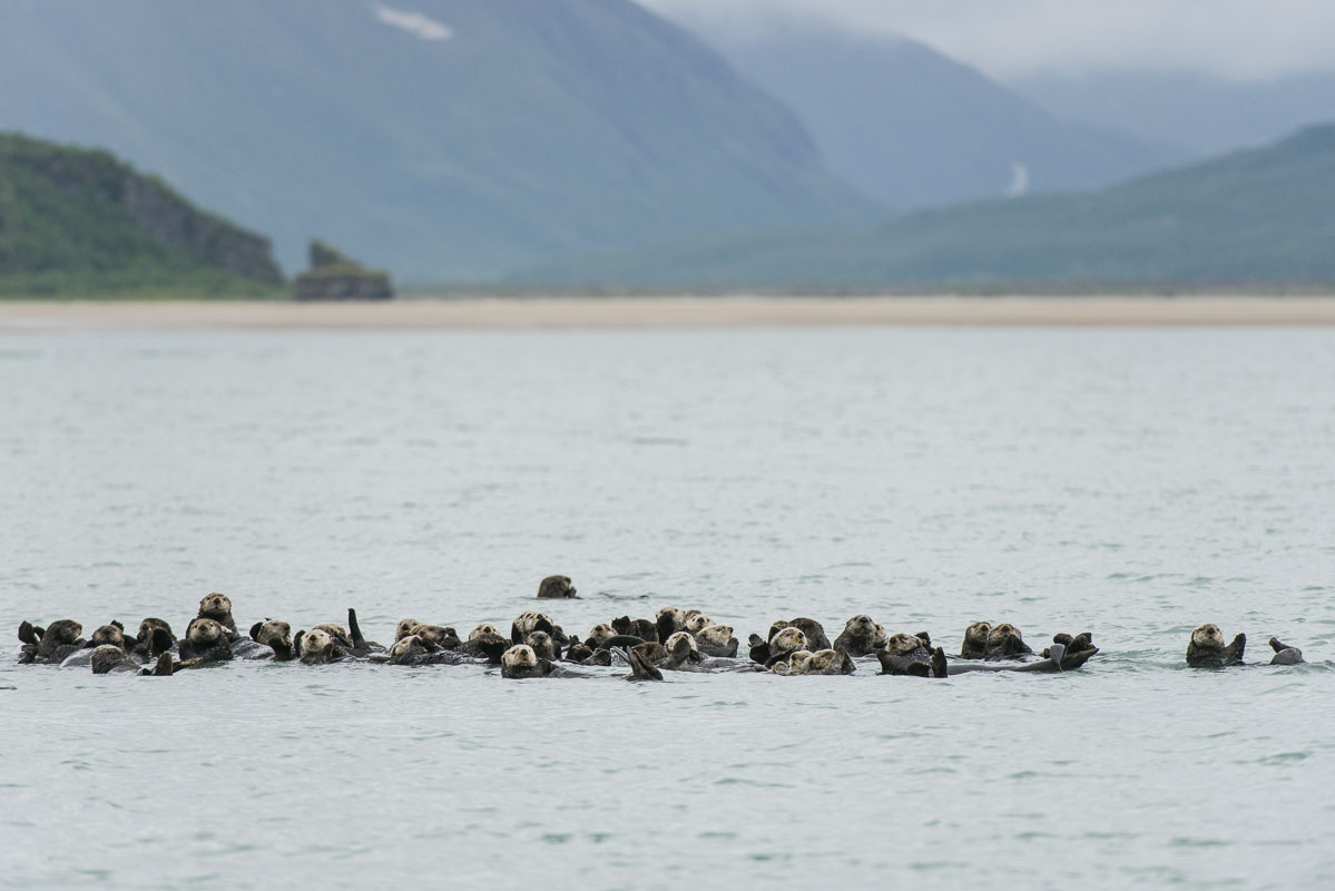 A raft of sea otters floats in a side bay along the Cook Inlet coast of Katmai National Park & Preserve, Alaska.