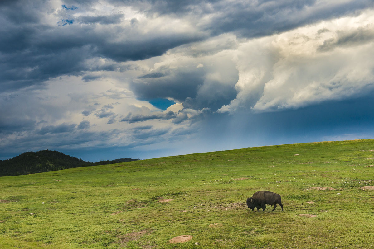 American bison, Black Hills, Custer State Park, South Dakota, plains, state park, summer, wildlife, photo