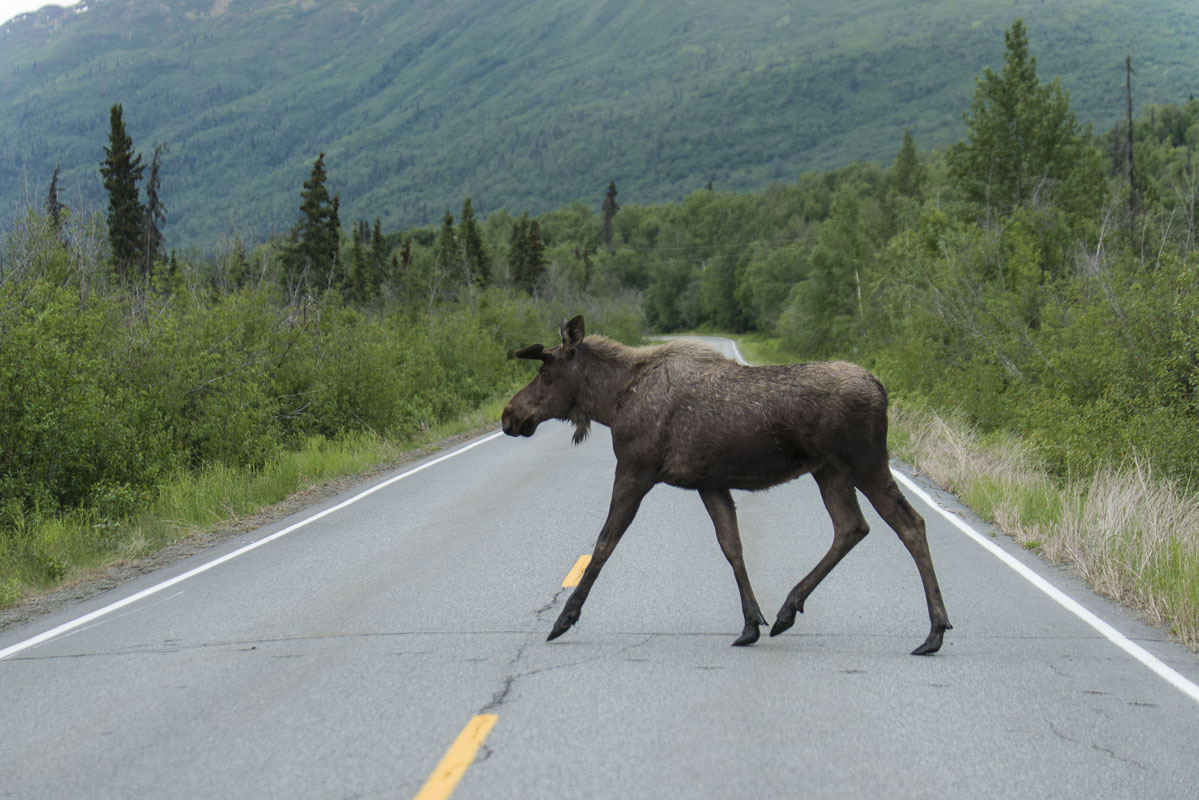 Knik area, Moose, road, summer, wildlife, photo