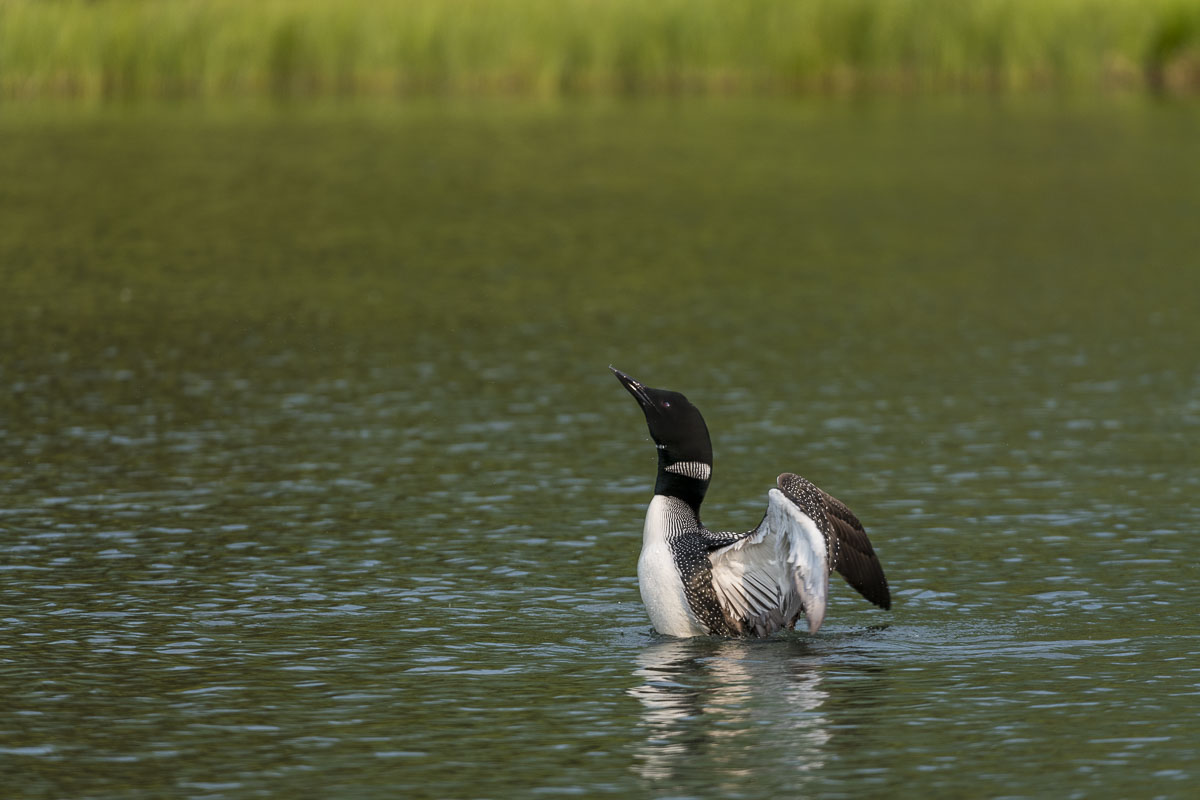 A common loon prepares to flap its wings during a preening session on a lake in Chugach National Forest.