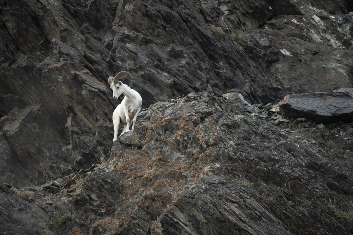 A young Dall sheep ram checks below his vantage point along the Turnagain Arm.