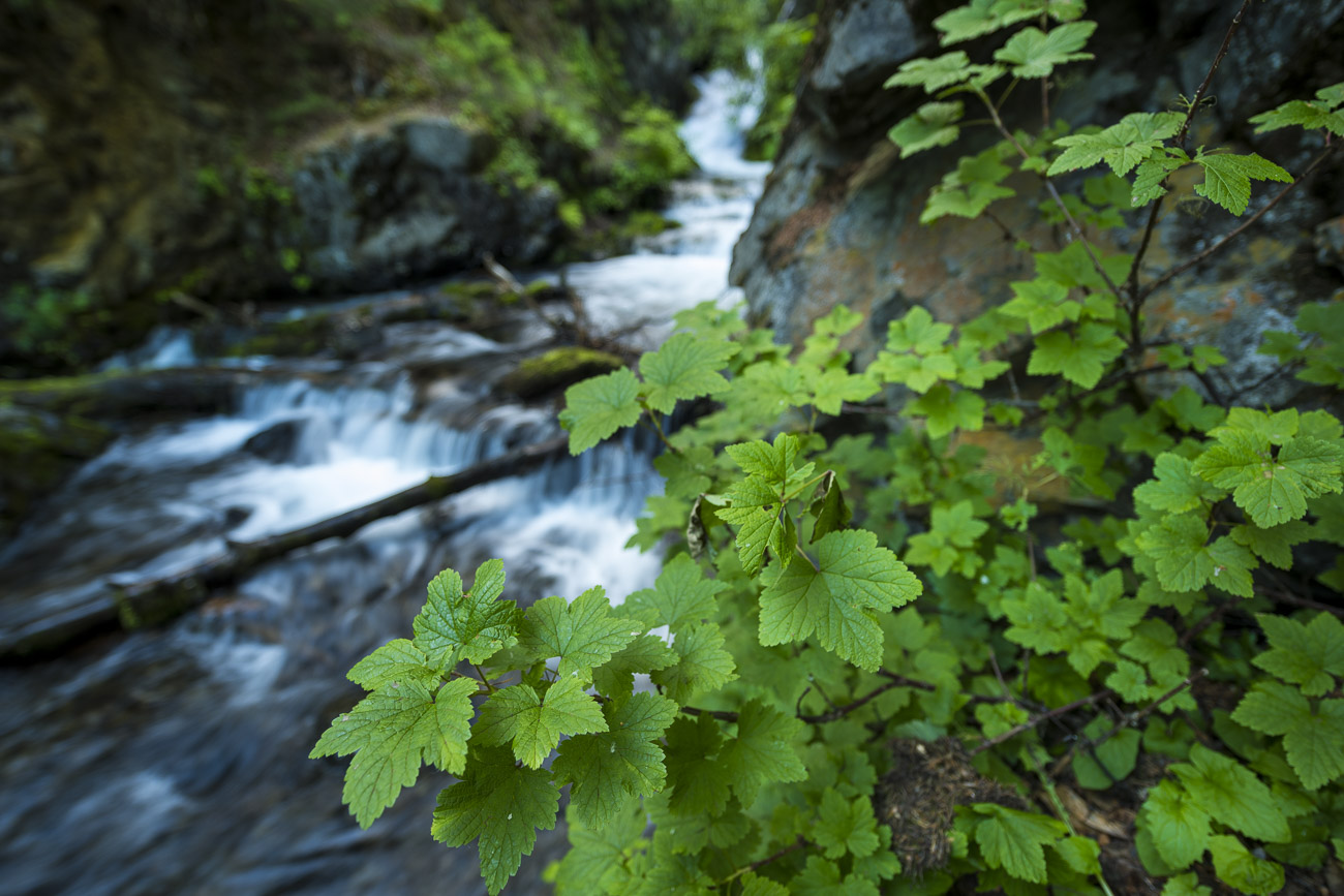 A patch of northern red currant grows alongside a rock face above the falls at McHugh Creek. I specifically chose a wide aperture...