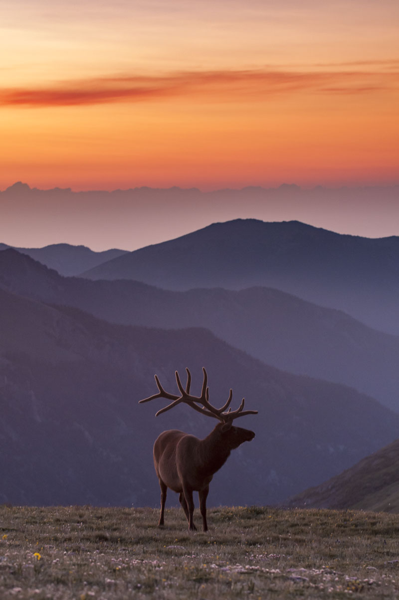 Bull elk in alpine meadow at dawn, Rocky Mountain National Park, Colorado.