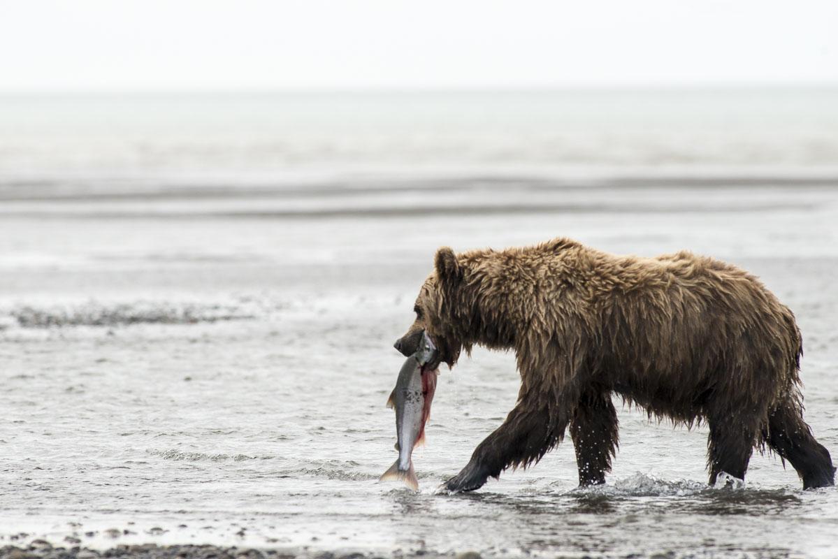Alaska, Bristol Bay, Cook Inlet, Lake Clark National Park, Silver Salmon Creek Lodge, summer, photo