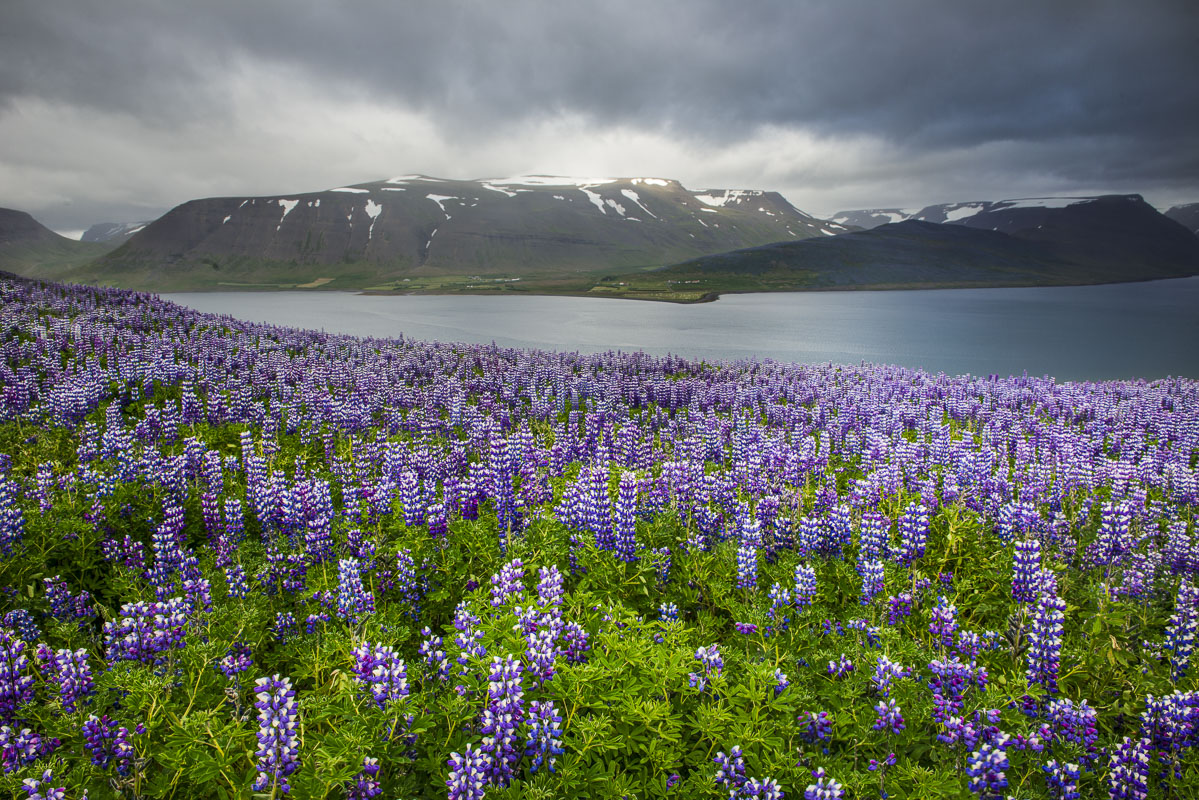 While traveling through the West Fjords region of Iceland in the summer, we found several fields and mountainsides coated in...