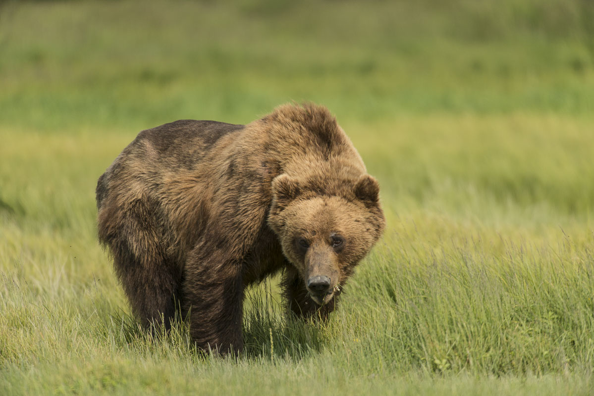 Alaska, Brown bear, Katmai National Park & Preserve, Kukak Bay, coastal, national park, summer, wildlife, photo