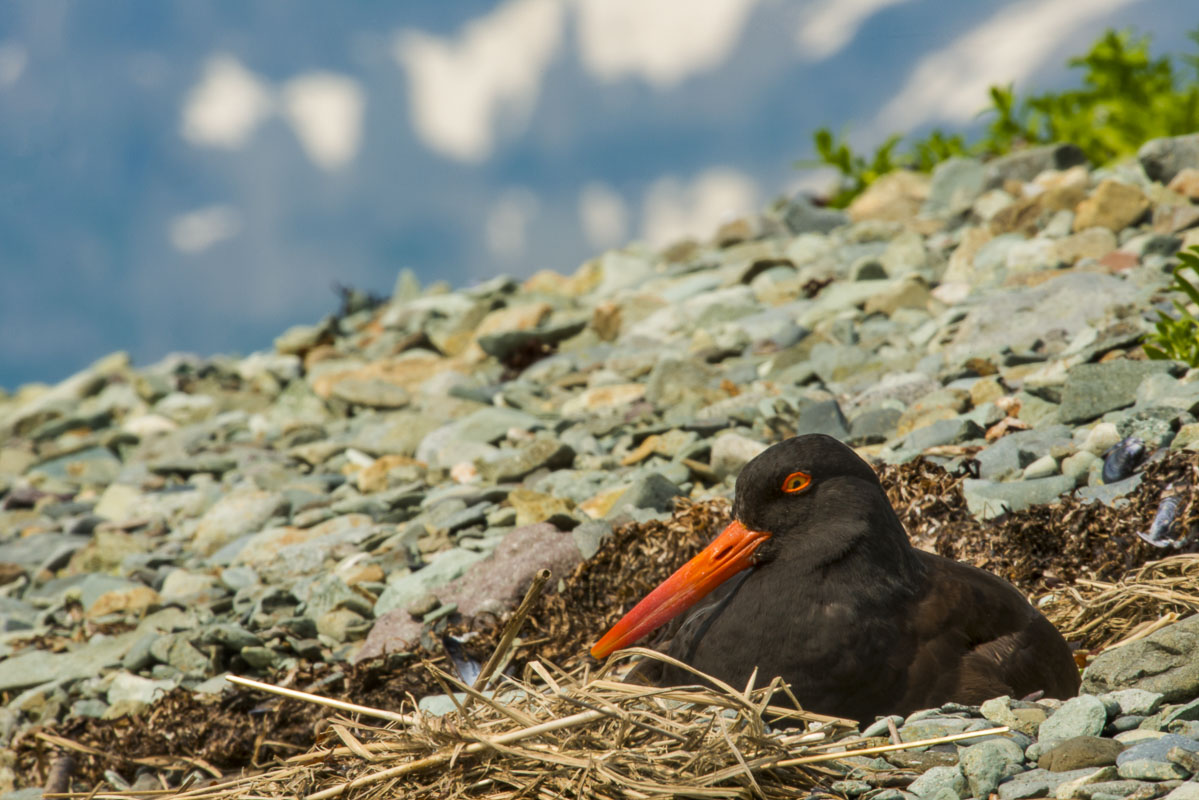 Black oystercatcher, Katmai National Park & Preserve, Kukak Bay, coastal, ocean, seabirds, shore, wildlife, photo